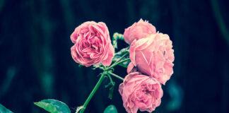 3 najważniejsze zasady pielęgnacji krzewów różanych